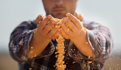 Farmer holding corn grains in his hands in tractor trailer after harvest