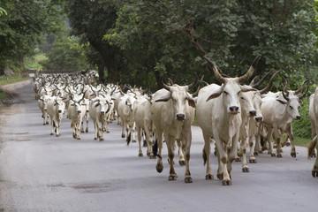 herd of indian cows