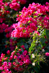 Blooming magenta bougainvillea flowers, closeup