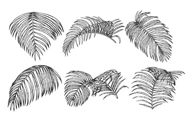 Areca palm sketch by hand drawing.Plam leaf vector set on white background.Vector leaves art highly detailed in line art style.
