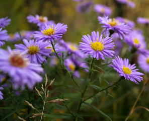 meadow of purple flowers daisies chrysanthemums