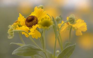 Die gelbe Sonnenbraut  ( Helenium )