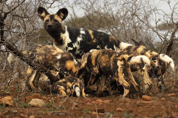Pack of puppies of African wild dogs (Lycaon pictus) with their mother behind them eating the rests after successful hunt