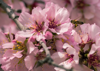 bee on almond blossoms