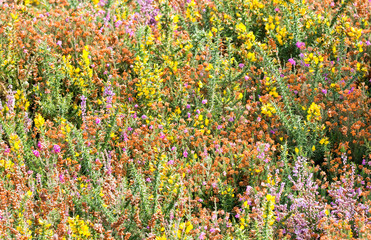Gorse and heather in September in Spain
