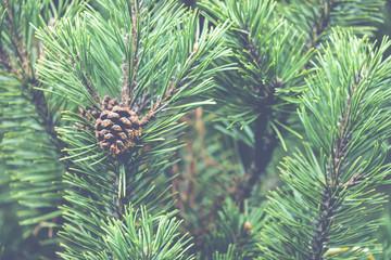Obraz Fresh green soft focus close-up of pine tree - fototapety do salonu