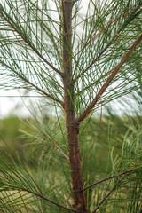 Pinecone tree closeup