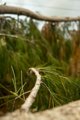 Autumn pine tree branch