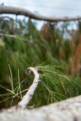Autumn pine tree branch