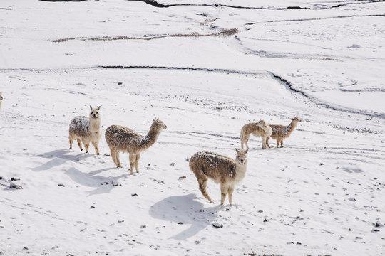 Alpakas in. the Snow
