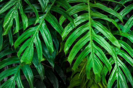 Wet green monstera leaves dark background