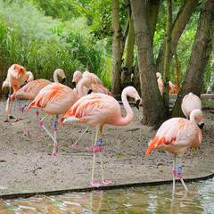 Pink flamingos at zoological garden