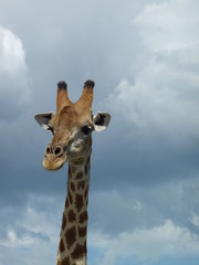 Head of a giraffe from Namibia, Africa