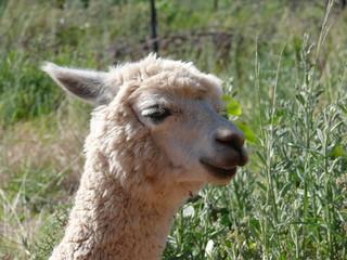 Head of an alpaca