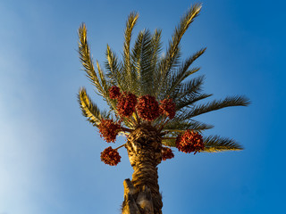 The crown of the date palm with mature fruit bends in the wind.