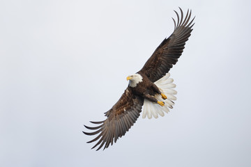 Bald eagle flying and making a sharp turn in the sky