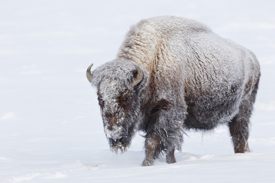 American bison walking in deep white snow in Yellowstone National Park
