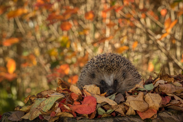 hedgehog in colorful autumn leaves looking in camera