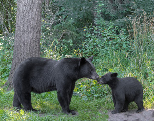 Black bear mother and cub. Tender moment