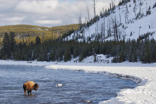 Bison standing in the Madison river in Yellowstone National Park