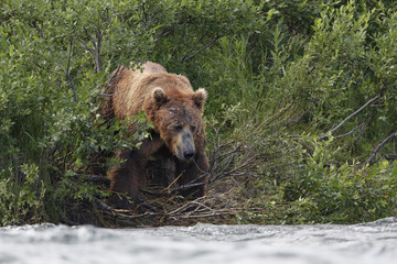 Coastal brown bear fishing for sockeye salmon in the river in the alaska wilderness