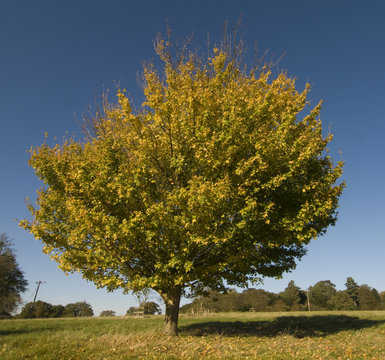 Autumnal field maple tree (acer campestre)