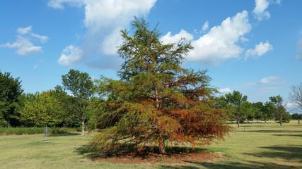 Autumn Colored Cedar Tree