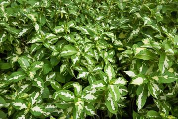 caricature plant or Graptophyllum pictum