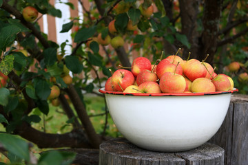 Delicious organic crab apples in an antique bowl under a apple tree