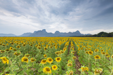 Beautiful big sunflower field with mountain landscape background