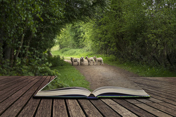 Beautiful young Spring lambs playing in English countryside landscape concept coming out of pages in open book