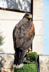 View of a captive Harris Hawk on a perch, Malta.