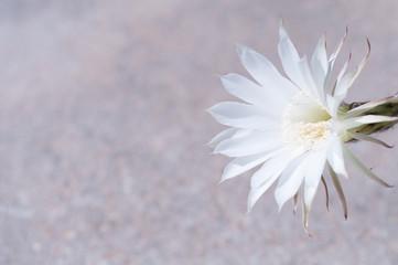 Wonderful white flower of echinopsis cactus on gray concrete background