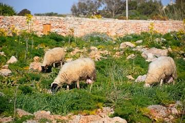 Sheep grazing on scrubland, Dingli, Malta.