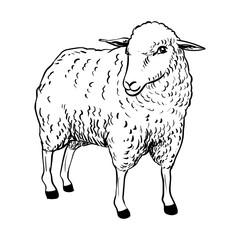 Illustration of Sheep - Vector Illustration
