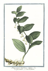 Old botanical illustration of Polygonatum latifolium vulgare. By G. Bonelli on Hortus Romanus, publ. N. Martelli, Rome, 1772 – 93
