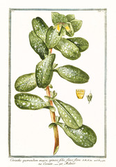 Old botanical illustration of Cerinthe quorundam major. By G. Bonelli on Hortus Romanus, publ. N. Martelli, Rome, 1772 – 93