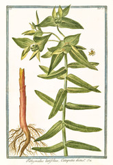 Old botanical illustration of Tithymalus latifolius. By G. Bonelli on Hortus Romanus, publ. N. Martelli, Rome, 1772 – 93