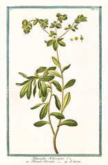 Old botanical illustration of Tithymalus helioscopius. By G. Bonelli on Hortus Romanus, publ. N. Martelli, Rome, 1772 – 93