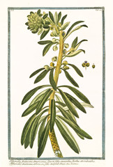Old botanical illustration of Tithymalus frutescens. By G. Bonelli on Hortus Romanus, publ. N. Martelli, Rome, 1772 – 93