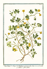 Old botanical illustration of  Oxys lutea, flore luteo (Oxalys acetosella). By G. Bonelli on Hortus Romanus, publ. N. Martelli, Rome, 1772 – 93