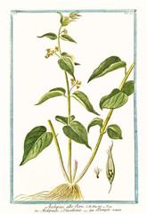 Old botanical illustration of  Asclepias albo flore, (Vincetoxicum hirundinaria). By G. Bonelli on Hortus Romanus, publ. N. Martelli, Rome, 1772 – 93