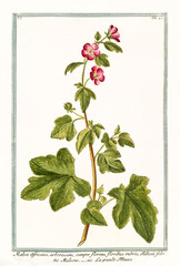 Old botanical illustration of  Malva africana arborescens, (Alcea biennis). By G. Bonelli on Hortus Romanus, publ. N. Martelli, Rome, 1772 – 93