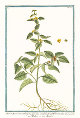 Old botanical illustration of  Malva americana ulmifolia, (Malvastrum coromandelianum). By G. Bonelli on Hortus Romanus, publ. N. Martelli, Rome, 1772 – 93