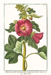 Old botanical illustration of  Malva rosea, flore saturatius rubente, (Alcea rosea). By G. Bonelli on Hortus Romanus, publ. N. Martelli, Rome, 1772 – 93