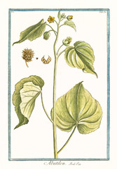 Old botanical illustration of Abutilum. By G. Bonelli on Hortus Romanus, publ. N. Martelli, Rome, 1772 – 93
