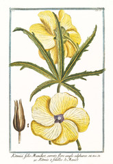 Old botanical illustration of Ketmia folio Manihot (Abelmoschus manihot). By G. Bonelli on Hortus Romanus, publ. N. Martelli, Rome, 1772 – 93