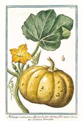 Old botanical illustration of Melopepo verruscosus (Cucurbita pepo). By G. Bonelli on Hortus Romanus, publ. N. Martelli, Rome, 1772 – 93
