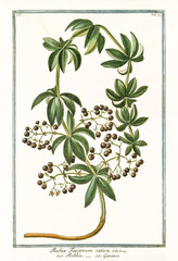 Old botanical illustration of Rubia tinctorum sativa. By G. Bonelli on Hortus Romanus, publ. N. Martelli, Rome, 1772 – 93