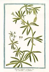 Old botanical illustration of Aparine vulgaris (Galium aparine). By G. Bonelli on Hortus Romanus, publ. N. Martelli, Rome, 1772 – 93